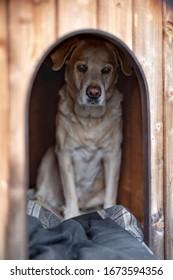 Labrador is inside a dog house