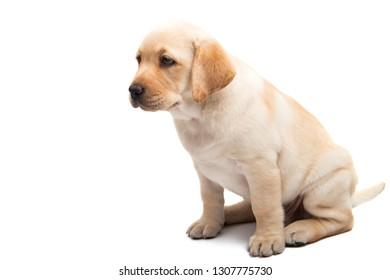 labrador isolated on white background