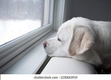 Labrador Looking out the Window