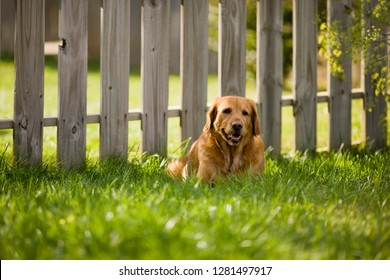 Labrador lying on lawn by fence