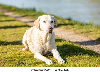 Labrador is lying on a path at the canal