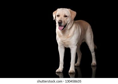 Labrador on black background