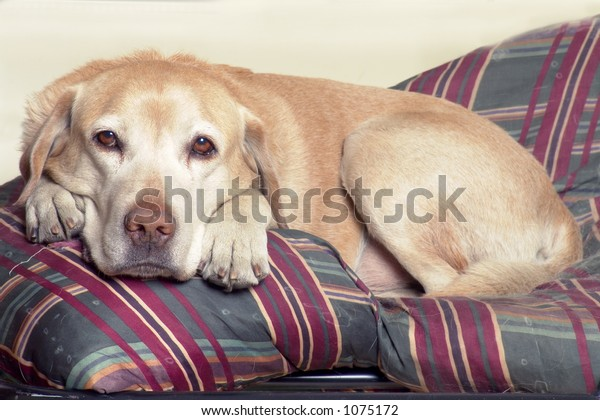 Labrador on couch