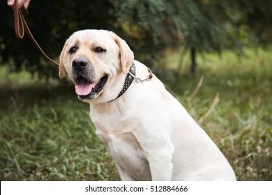 Labrador on a leash