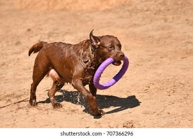 Labrador on a walk in summer day