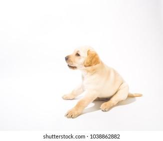 labrador on white background