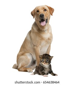 Labrador panting and kitten, isolated on white