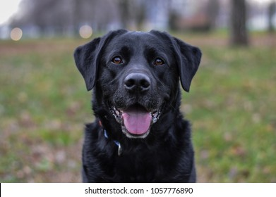 labrador in the park