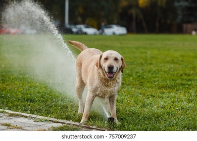 Labrador in the Park on the lawn playing with a water
