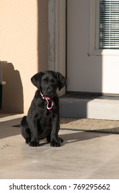 Labrador pet sits