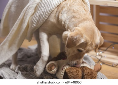 labrador playing with teddy bear toy