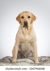 Labrador portait. Image taken in a studio with white background.