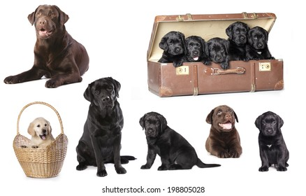 Labrador puppies litter, dog family