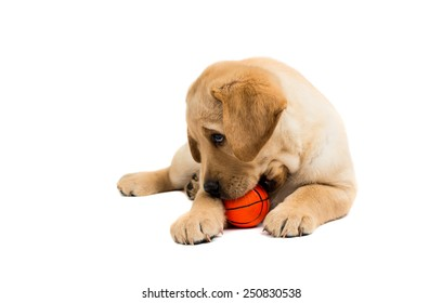 Labrador puppies on a white background