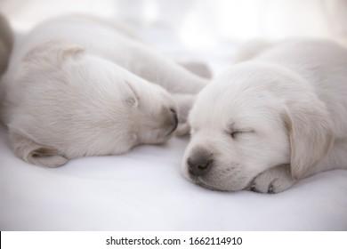 Labrador puppies sleeping / Cute purebred newborn dogs laying down