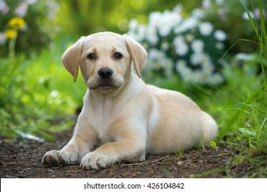 Labrador Puppy Images Stock Photos Vectors Shutterstock