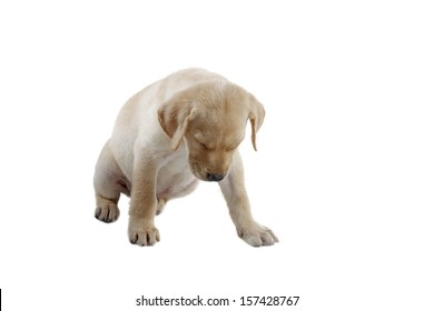 labrador puppy alone in various poses for the camera