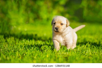 Labrador puppy, beautiful little dogs running around the green grass. Young dogs of breed labladoor close up. The concept of childhood, playfulness and carelessness. Mowed lawn.