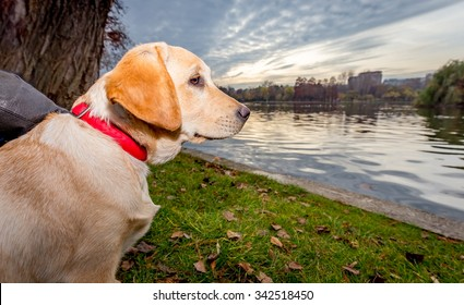 Labrador Puppy Dog by the lake at sunset