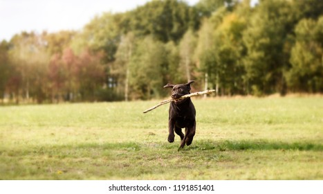 Labrador puppy dog running with branch in his mouth in green gra