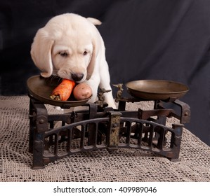 Labrador puppy eats a carrot near the old scales on a dark background