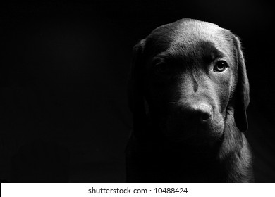 Labrador Puppy Head On in Black and White against a Black Background