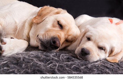 Labrador puppy and his mother sleeping together