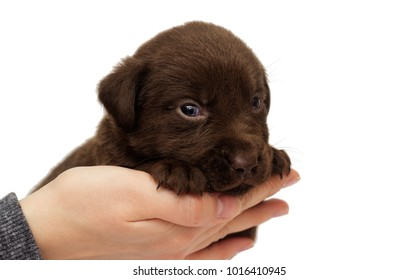 labrador puppy in human hand on a white background