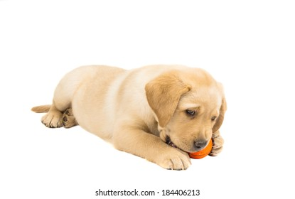 labrador puppy isolated on white background
