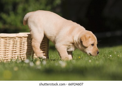 Labrador puppy is jumping out of his basket