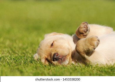 labrador puppy lying on meadow