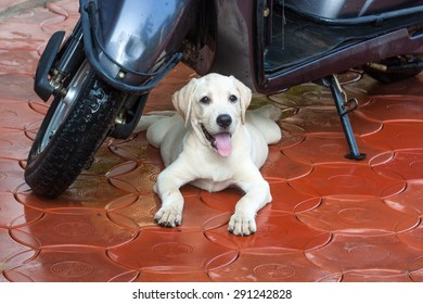 Labrador puppy lying under a scooter