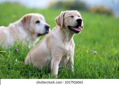 Labrador, Puppy , Old Dog