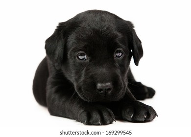 The labrador puppy on white