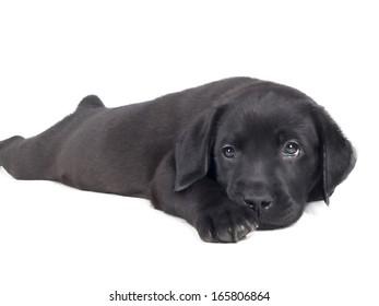 labrador puppy on a white background in studio