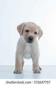 Labrador puppy on a white background. The Labrador Retriever, also Labrador, is a type of retriever-gun dog.