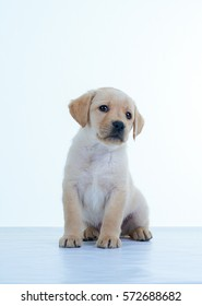 Labrador puppy on a white background. The Labrador Retriever, also Labrador, is a type of retriever-gun dog.