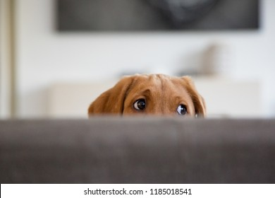 Labrador puppy peeking over back of sofa.