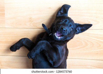 Labrador puppy is played. Black little sweet puppy playing with a toy for dogs. Pets care.