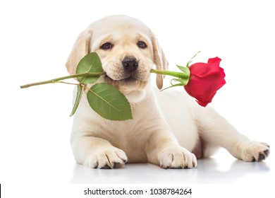 Labrador puppy with red rose