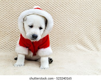 Labrador puppy in a red suit of Santa Claus