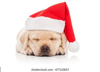 Labrador puppy in a Santa Claus hat