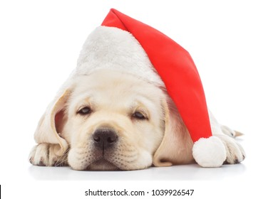 Labrador puppy in santa hat