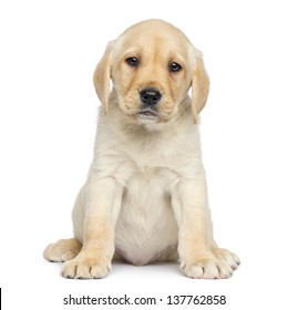 Labrador Puppy sitting and facing, isolated on white