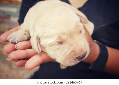 Labrador puppy sleeping with hands