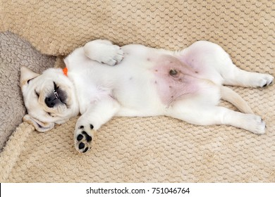 labrador puppy sleeping sweetly on his back up the belly