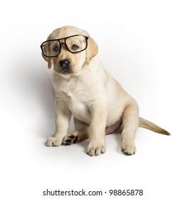 Labrador puppy wearing glasses