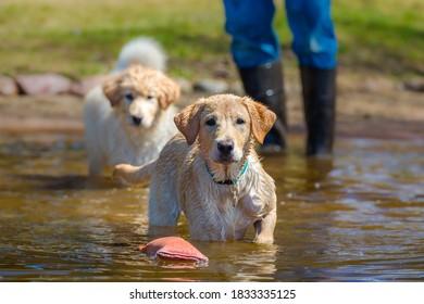 A labrador retreiver wades into a lake to fetch a retreiving dum