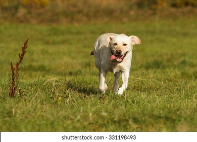 Labrador Retriever in action!
