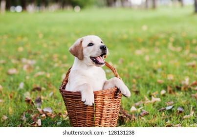 labrador retriever in basket